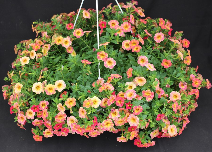 Ampel Calibrachoa 1