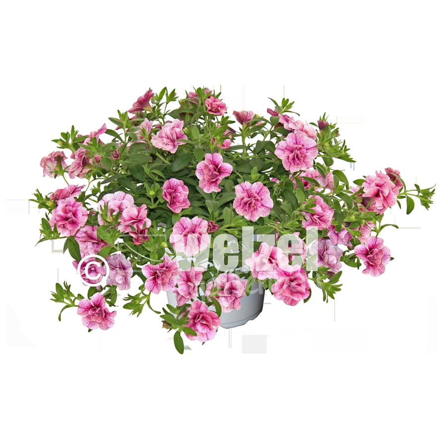 Cali-gefüllt-pink-vein-W