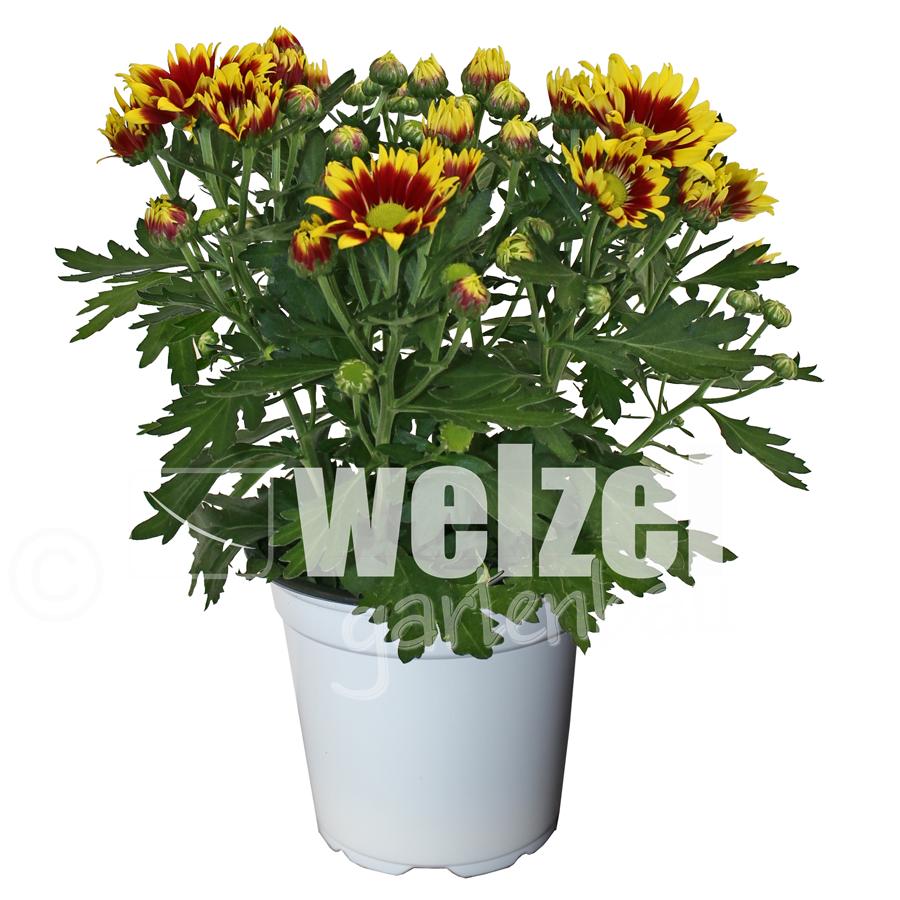Chrysanthemen-12-Melody-W