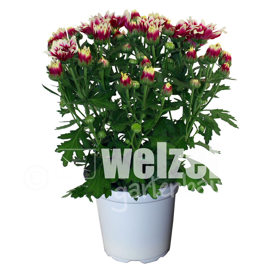 Chrysanthemen-12er-Melody-2-W