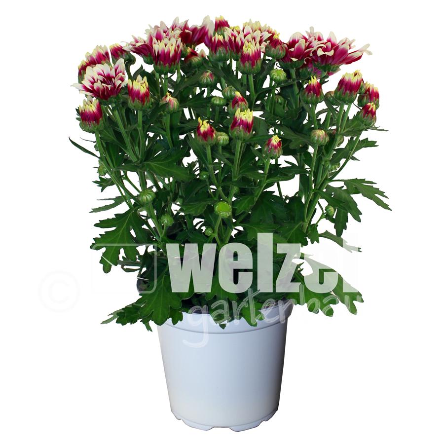 Chrysanthemen-12er-Melody-2-W