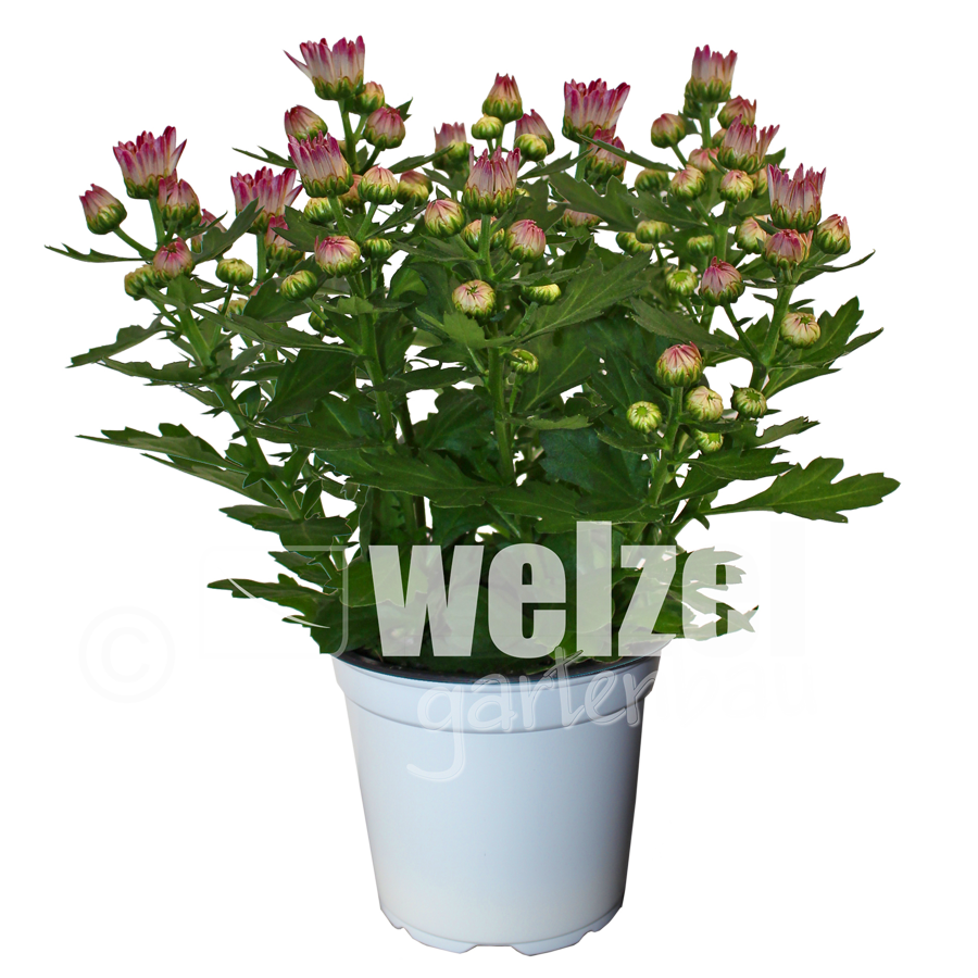 Chrysanthemen-Melody-12er-Candy-W
