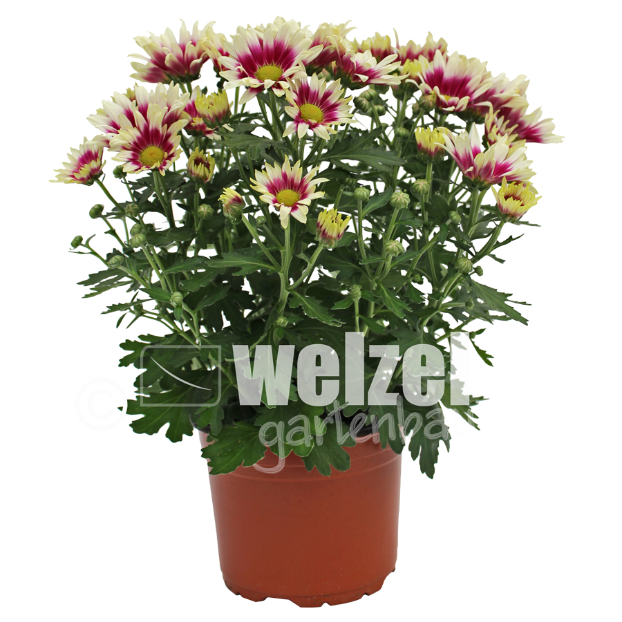 Chrysanthemen-Melody-14er-3-W