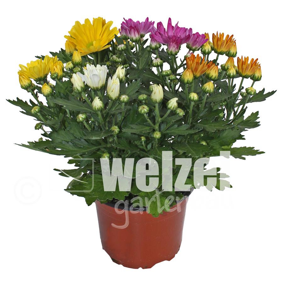 Chrysanthemen-Rock-Roll-W