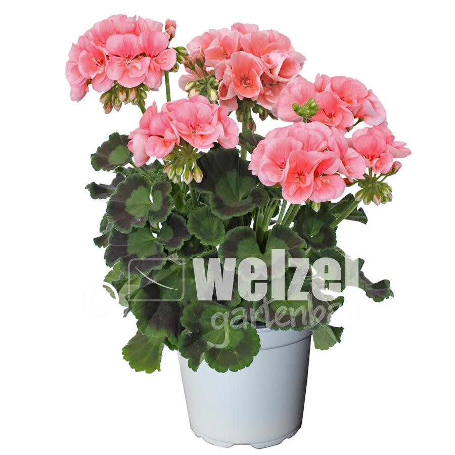 Zonale-lachs-W