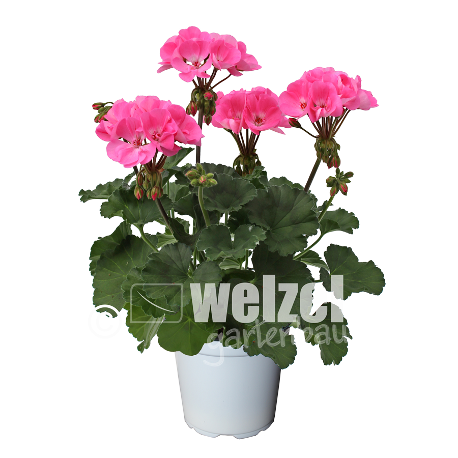 Zonale-pink-W