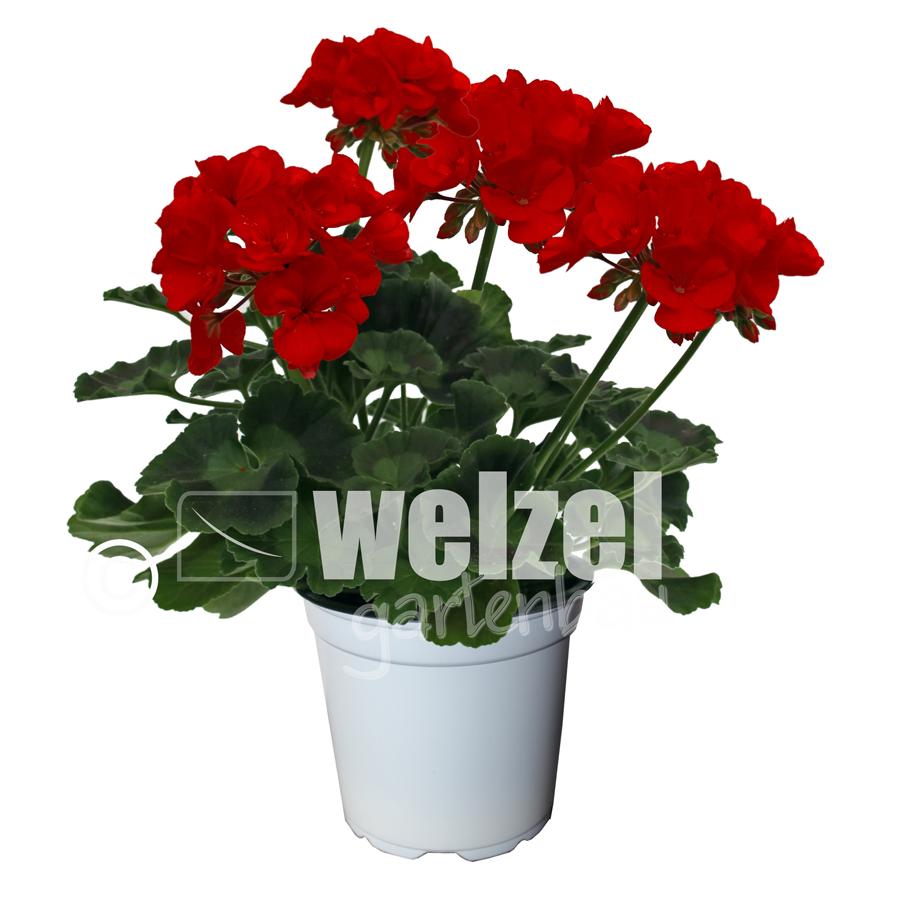 Zonale-rot-W