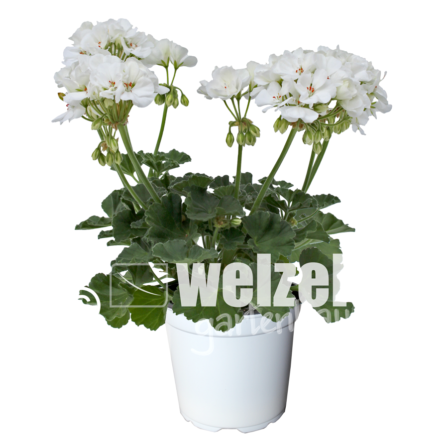 Zonale-weiß-W
