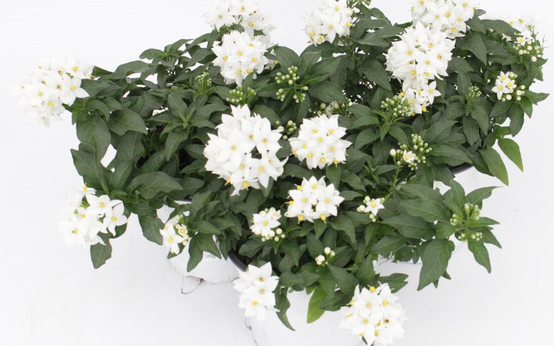 Solanum Jasminoides 07.4.18