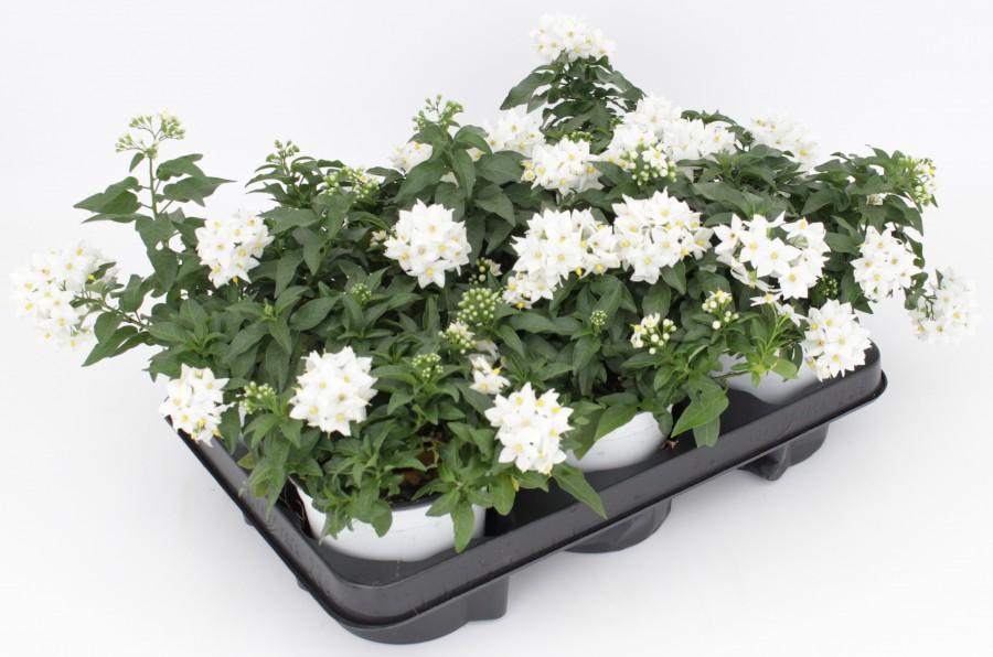 Solanum Jasminoides Gruppenbild 07.04.18